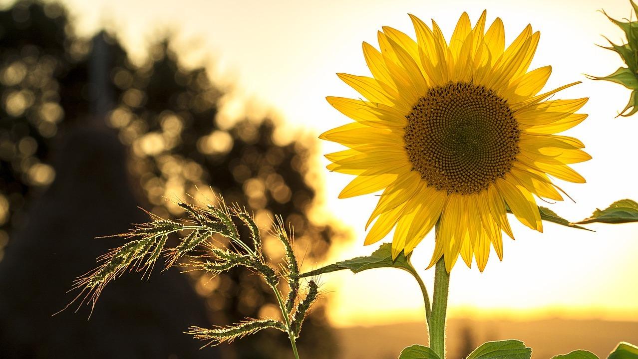 sunflower-1127174_1280